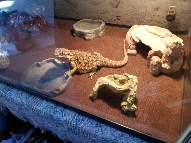 Bearded Dragon in Richmond, McHenry County, Illinois - Morgan County