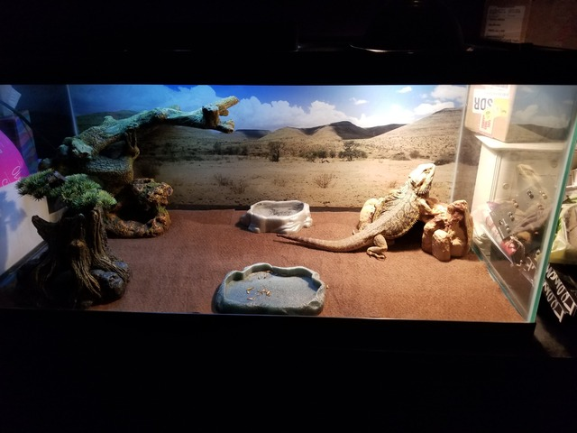 Bearded Dragon in Richmond, McHenry County, Illinois